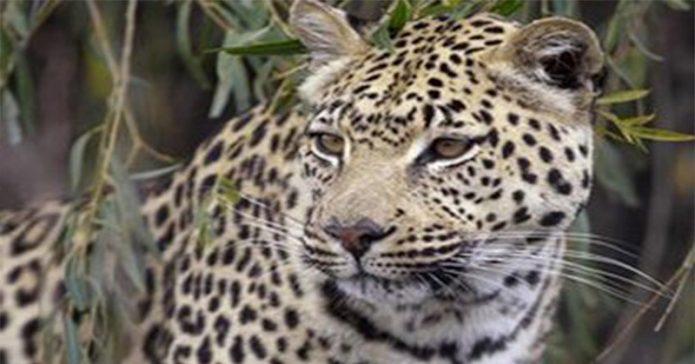 Tinggal 32 Ekor, Macan Tutul di Gunung Pangrango Terancam Punah