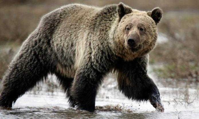 Pria di AS Tewas Diserang Beruang Grizzly