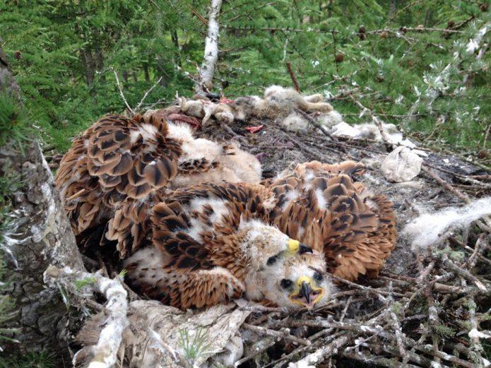 Sekelompok Burung Pemangsa di Skotlandia Curi Pakaian Dalam