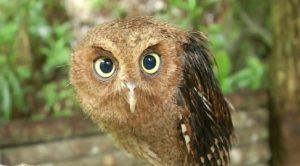 Joget Lucu ala Bayi Burung Hantu yang Terlantar