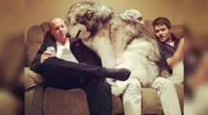 16 Foto Menggemaskan Anjing-Anjing Paling Besar di Dunia