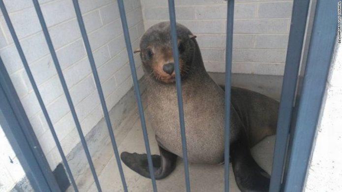 Perempuan Australia Terkejut Temukan Anjing Laut Tertidur di Dalam Toilet