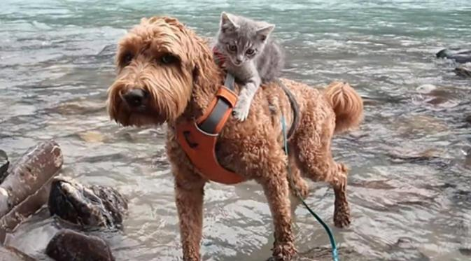Bertualang Bersama, Anjing Ini Menggendong Kucing di Punggungnya