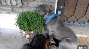 Saat Anjing Garang Pitbull Takut dan Sembunyi Merasa Bersalah