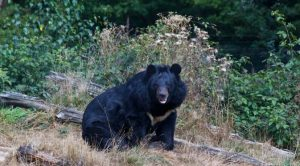 Pakai Jurus Karate, Kakek 63 Tahun Tangkis Serangan Beruang Hitam