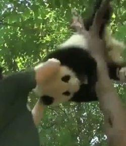 Berita Bintang – Kasihan, Panda Ini Tersangkut di Pohon hingga Harus Ditarik