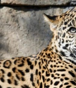 Berita Bintang – Diselamatkan Botol Minum, Wanita Ini Selamat dari Terkaman Jaguar